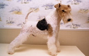 Fox terrier bart
