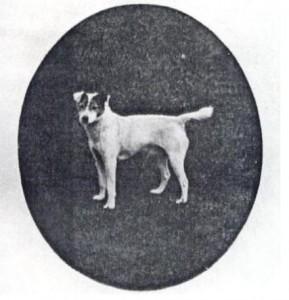 fox terrier pelo liso 1913