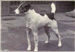 fox terrier pelo liso1915
