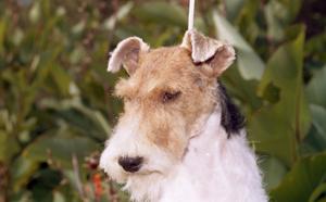 Maggie fox terrier