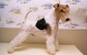 bart fox terrier