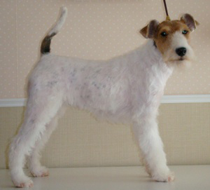 lisa fox terrier