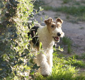 rayo fox terrier