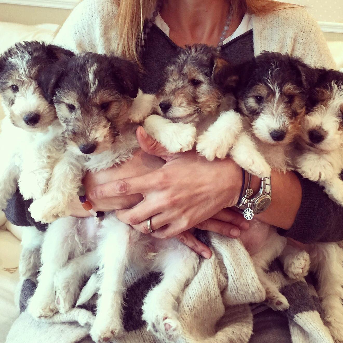 Cachorros Fox Terrier
